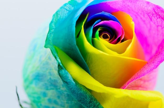 Prachtige veelkleurige roos op wit