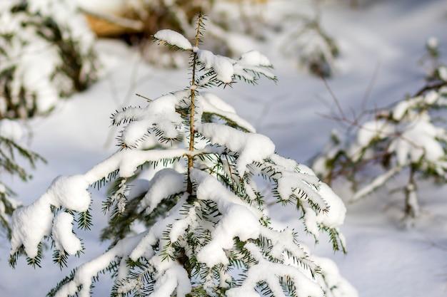 Prachtige verbazingwekkende kerst winter berglandschap. kleine jonge groene sparren bedekt met sneeuw en vorst op koude zonnige dag op heldere witte sneeuw en wazig boomstammen kopiëren ruimte achtergrond.