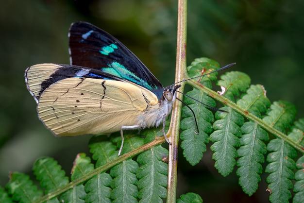 Prachtige vlinder die met zijn falanx op zoek is naar voedsel op een varen