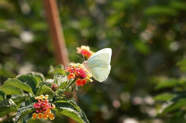Prachtige vlinder drinkt nectar op een bloem onder de stralen van de zon