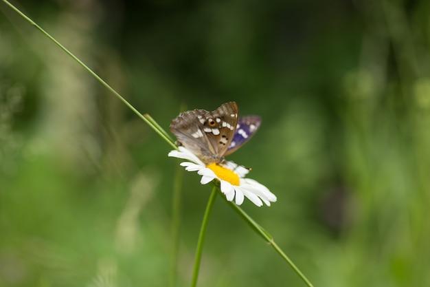 Prachtige vlinder op een bloemkamille