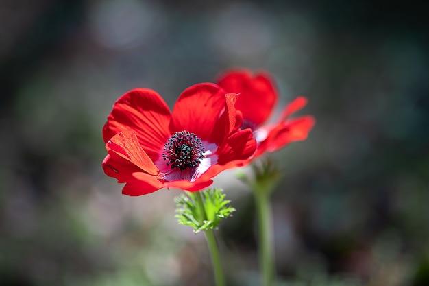 Prachtige voorjaarsbloem anemoon groeit in de tuin