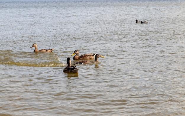 Prachtige wilde eenden in de natuur, wilde natuur met vliegende en watervogels, wilde eenden in de lente of zomer in de natuur
