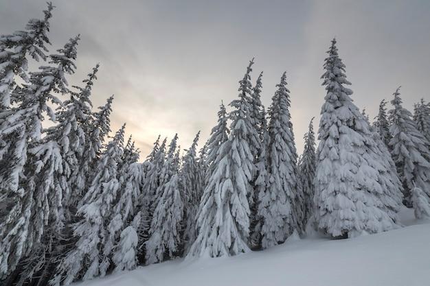 Prachtige winter berglandschap. hoge vuren bomen bedekt met sneeuw in de winter woud en bewolkte hemelachtergrond.