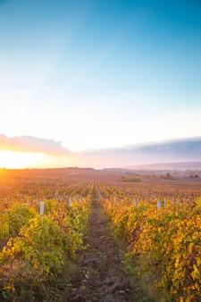 Prachtige zonsondergang over prachtige groene wijnstokken