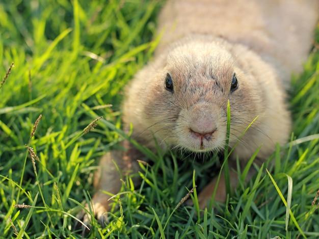 Prairiehond in natuurlijk landschap