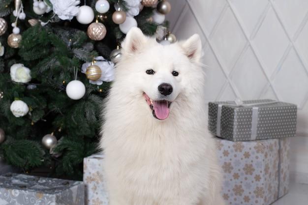 Prettige kerstdagen en prettige feestdagen. nieuwjaar 2020. samojeed hond ligt in de woonkamer in kerstmis interieur.