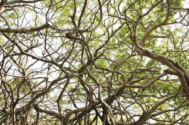 Prieel van oude banyanboom