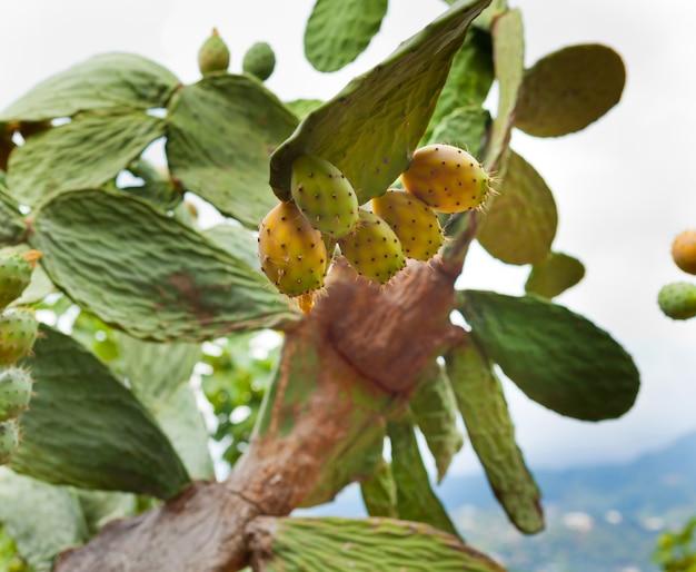 Prikkelige peer cactus