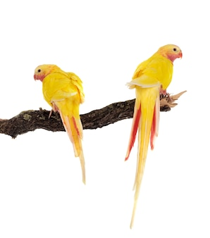 Princess papegaaien op tak