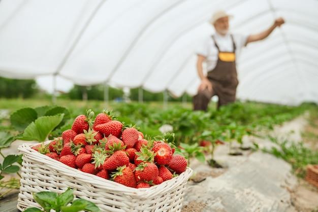 Proces oogsten van rijpe aardbeien in kas