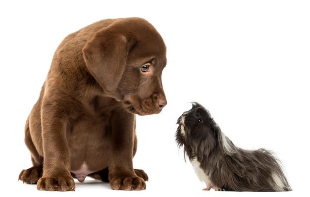 Proefkonijn dat een labradorpuppy bekijkt