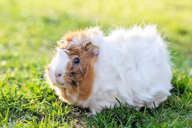 Proefkonijn in groen gras. verse groenten in huisdierenvoeding. getint. plaats voor tekst.