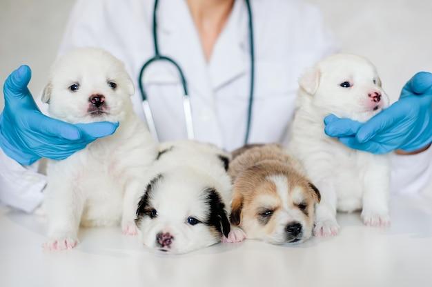 Professionele dierenarts die voor puppy's zorgt