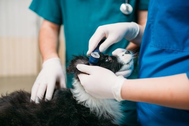 Professionele dierenartsen die hondenoren onderzoeken