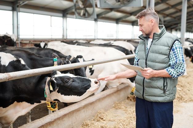 Professionele melkkoe verzorger met digitale tablet die bij groep vee achter hek staat en een van hen met de hand aanraakt