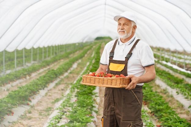 Professionele oude tuinman in uniforme rieten mand met verse aardbeien in kas. volwassen man oogst rijpe bessen op plantage.