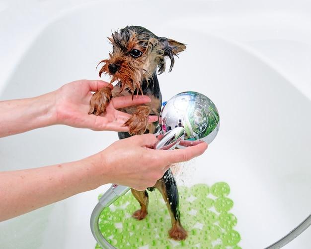 Professionele trimmer wast een yorkshire terriër met water in de badkamer.