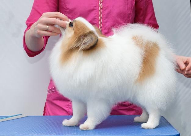 Professionele verzorging van een hond in een gespecialiseerde salon. de trimmer fixeert de hond bij de snuit.