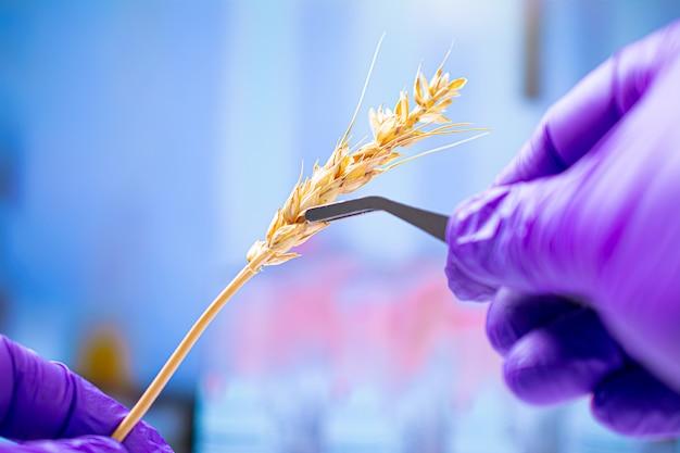 Professionele wetenschapper die met handschoenen tarweoren, experimenten in chemisch laboratorium onderzoekt