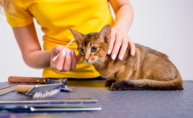 Professionele zorgt voor een abessijnse kat in een gespecialiseerde salon