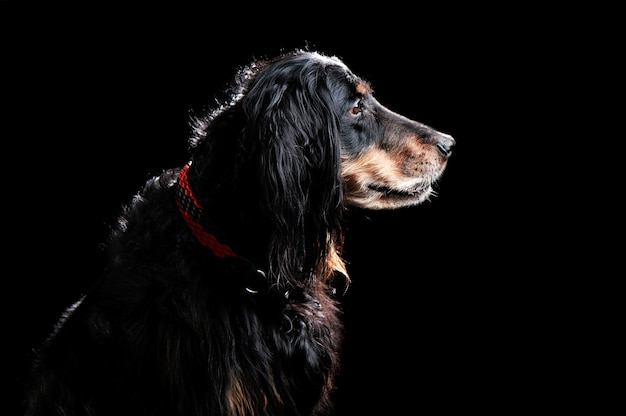 Profiel hoofdportret van engelse spanielhond