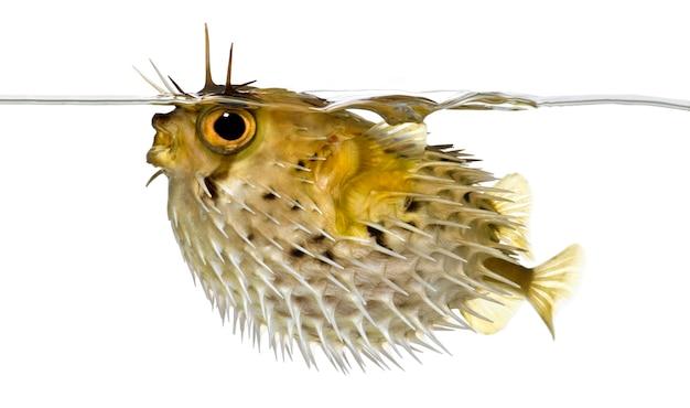 Profiel op een stekelvarkenvis ook bekend als doornige ballonvis net onder de waterlijn - diodon holocanthus op wit geïsoleerd