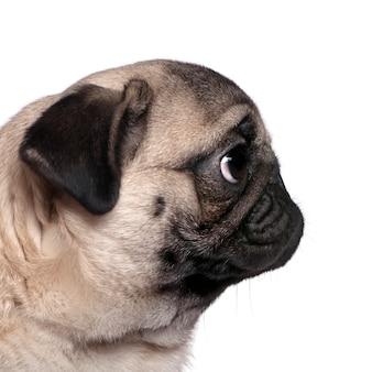 Profiel te bekijken van een mopshond, 7 maanden oud, voor witte muur