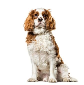 Profiel van arrogante koning charles hond