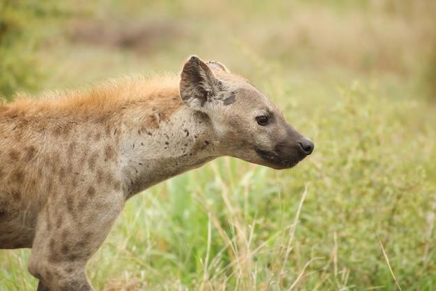 Profielportret van een afrikaanse gevlekte hyena in zuid-afrikaanse safari