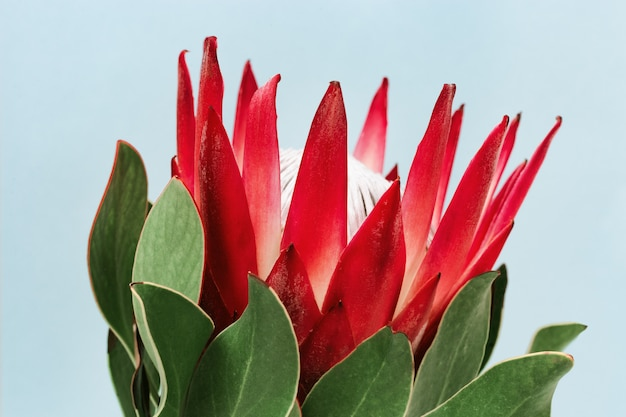 Protea-bloem, grote mooie plant op blauwe achtergrond voor briefkaart of uitnodiging
