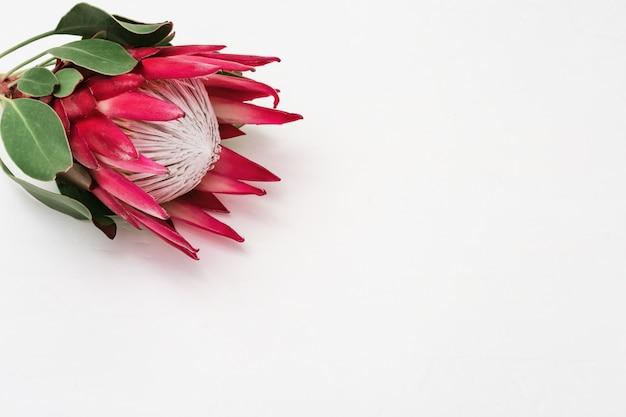 Protea-bloem, grote mooie plant op lichte tafel.