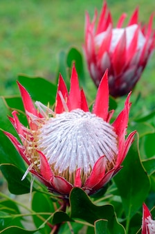 Protea cynaroides, een prachtige gecultiveerde plant afkomstig uit zuid-afrika