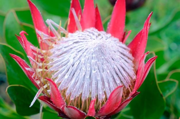 Protea cynaroides komt oorspronkelijk uit zuid-afrika en wordt gekweekt als sierplant