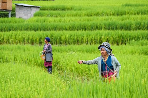 Provincie chiang mai, thailand. rijstboer zaai het graan in pa bong piang in het noorden van thailand