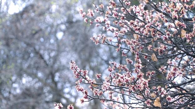 Pruimbloem op de boomtakken op de pruimboom