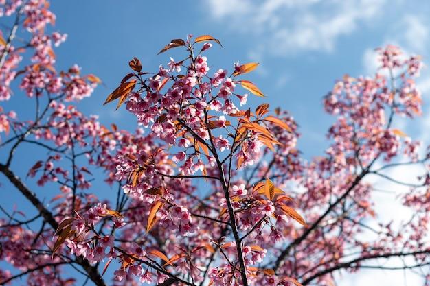 Pruimbloesems die in de blauwe hemel glanzen
