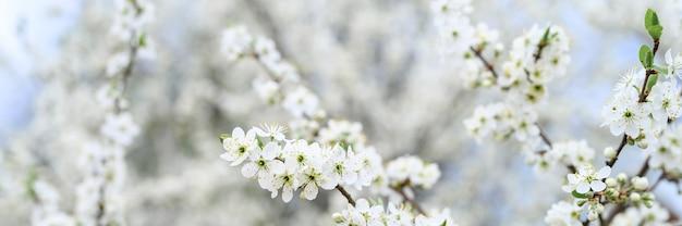 Pruimen of pruimen bloeien in het vroege voorjaar in de natuur met witte bloemen. selectieve aandacht. banner