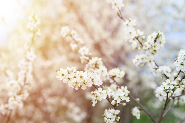 Pruimen of pruimen bloeien in het vroege voorjaar in de natuur met witte bloemen. selectieve aandacht. gloed