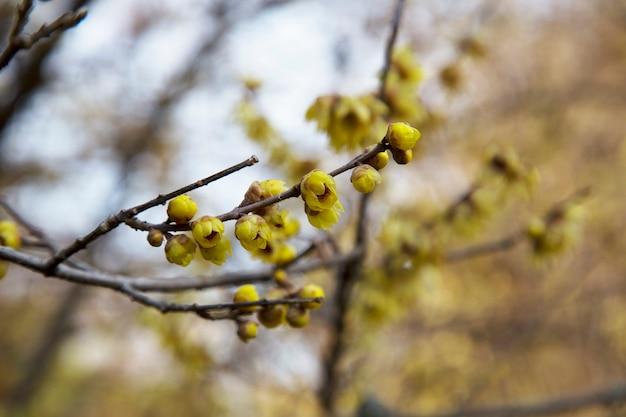 Pruimenbloesem in het vroege voorjaar, vroege winterbloem, geurige gele bloemen op de struik, sleutelbloemen, februari-bloemen, gele bloemen natuurlijke achtergrond