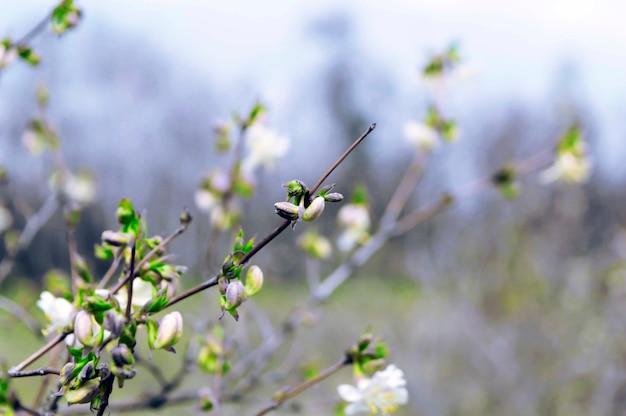 Pruimenbloesem in het vroege voorjaar