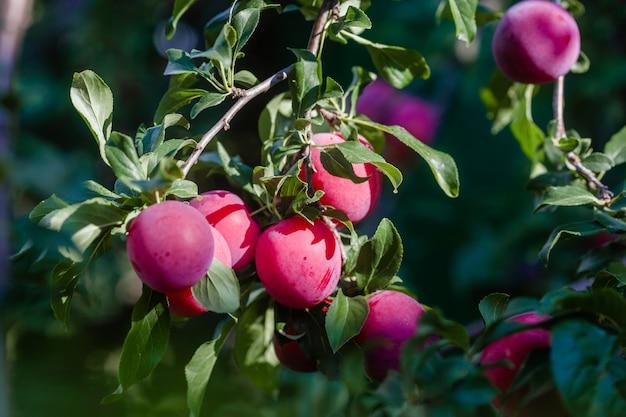 Pruimenboom met heerlijke grote rode pruimenclose-up