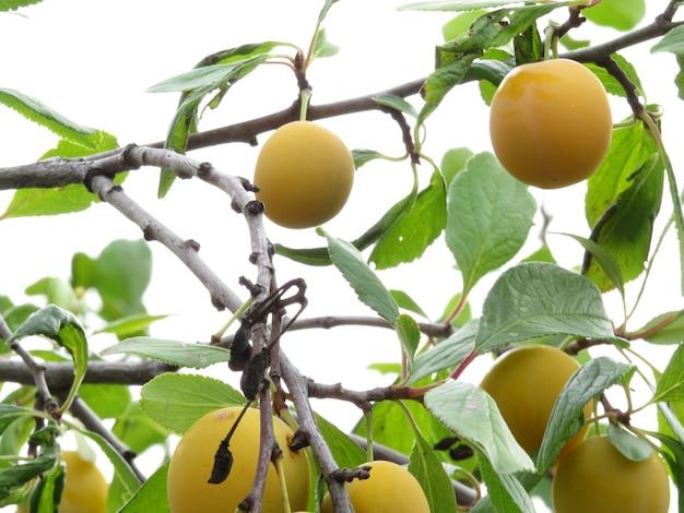 Pruimenboom met sappig fruit