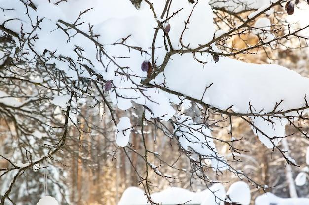 Pruimenboom met vruchten in de sneeuw. heldere dag na zware sneeuwval.