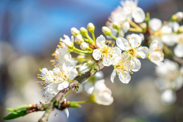 Pruimwitte bloemen met de zachte achtergrond, de lentetijd