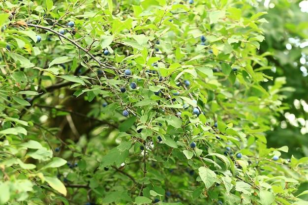 Prunus spinosa op een boom. zachte selectieve focus
