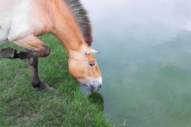 Przewalski's paard op een drinkplaats bij de vijver. wild leven. ascania nova reserve. oekraïne