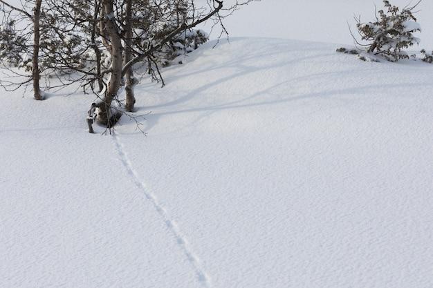 Ptarmigan, lagopus, grouse sporen in de sneeuw
