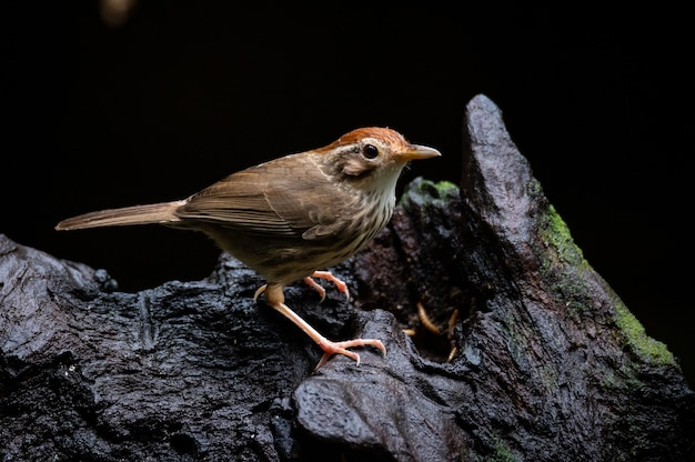 Puff throated babbler of gevlekte babbelaar vogel staande op hout.