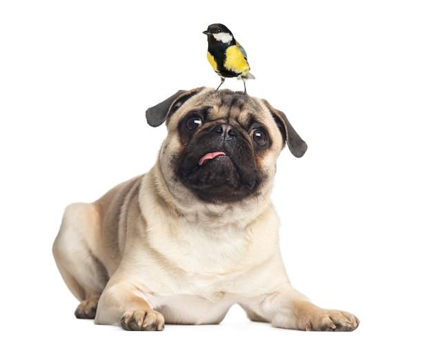 Pug die met een koolmees op het hoofd ligt dat op wit wordt geïsoleerd